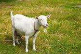 Goat grazed on a meadow — Stock Photo