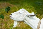 Witte geit op een boerderij — Stockfoto