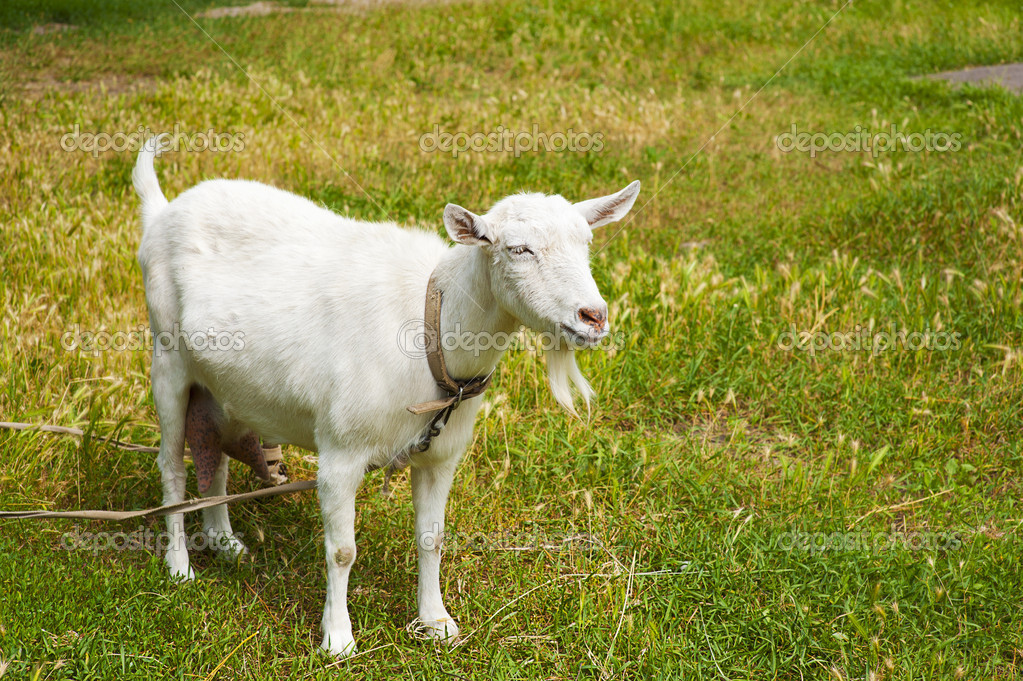 Goat grazed on a meadow or on a farm — Stock Photo #11459237