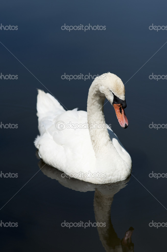White swan in the water — Stock Photo #11539227