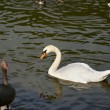 White swan floating on surface of lake — Stock Photo
