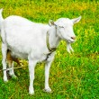 Stock Photo: Goat grazed on a meadow