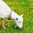 Foto de Stock  : Goat grazed on a meadow and eating