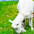Zdjęcie stockowe: Goat grazed on a meadow and eating