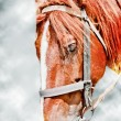 Head of brown horse - Stock Photo