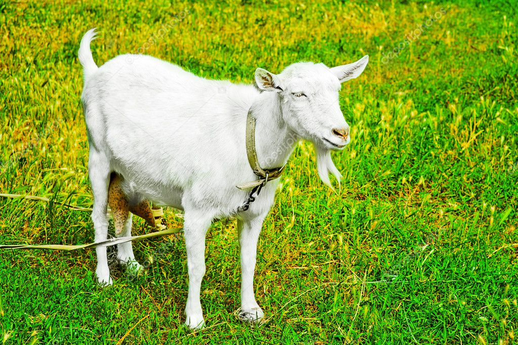 Goat grazed on a meadow or on a farm — Stok fotoğraf #12041978