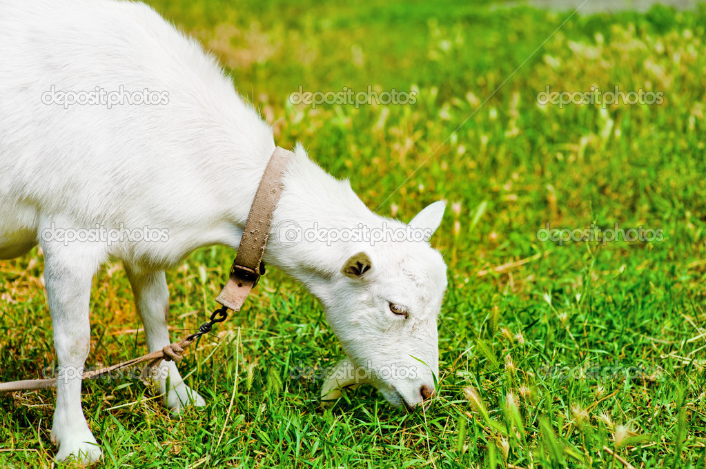 White goat grazed and has a lunch on a meadow or on a farm. Goat eating grass — Stock Photo #12042010