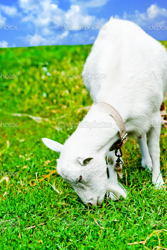 White goat grazed and has a lunch on a meadow or on a farm. Goat eating grass — Stock Photo #12044113