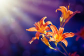 Lily Flowers on a purple background — Stock Photo