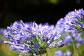Blue flower of agapanthus africanus — Stock Photo