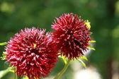 Fiore dalia rossa alla luce del mattino nel giardino verde — Foto Stock