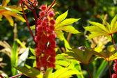 Rode blad van castor olie plant, selectieve aandacht — Stockfoto