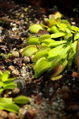 Nepenthes, carnivorous plant endemic to southern Madagascar — Stock Photo