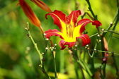 Orange Lily Blooming in a Sunny Garden — Stock Photo