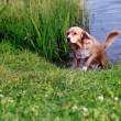 Hunting wet dog running after swimming in blue summer river — Stock Photo