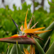 Hawaiian Bird of Paradise — Stock Photo #11802924