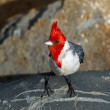 Red-crested cardinal at Lydgate beach staying on big rock — Stock Photo