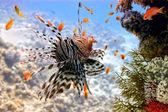 Lionfish (Pterois volitans) — Stockfoto