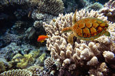 Coral fishes of Red sea. Egypt — Stock Photo