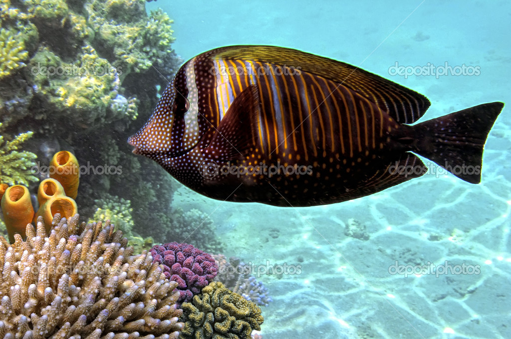 Sailfin tang (zebrasoma desjardinii). — Stock Photo #11739861