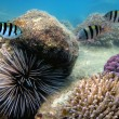 Stock Photo: Large SeUrchin making its way across coral reef