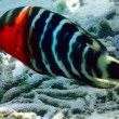 Redbreasted wrasse — Stock Photo #11922661