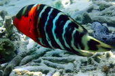 Redbreasted wrasse — Stock Photo