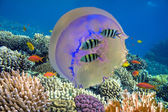 Shoal of fish and giant jellyfish — Stock Photo