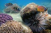 Large Sea Urchin making its way across a coral reef — Zdjęcie stockowe