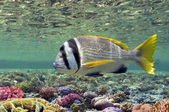 Doublebar bream (acanthopagrus bifasciatus) — Stock Photo