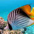 Threadfin butterflyfish — Stock Photo