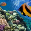 Stock Photo: Pennant coralfish (Heniochus acuminatus) or bannerfish