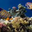 Regal Angelfish — Stock Photo