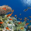 Foto Stock: Tropical Fish on Coral Reef in Red Sea