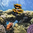 Tropical Fish on Coral Reef in the Red Sea — Stock Photo #12035630