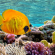Masked Butterfly Fish — Stock Photo #12155496