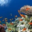 Tropical Fish on Coral Reef in the Red Sea — Stock Photo
