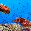 Cuttlefish(Sepiida) - Stock Photo