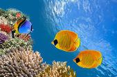 Onderwater foto van de coral reef — Stockfoto