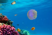 Moon jellyfish — Stock Photo