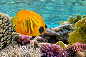 Masked Butterfly Fish — Stock Photo