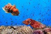 Cuttlefish(Sepiida) — Stock Photo