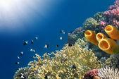 Yellow Tube Sponges — Stock Photo