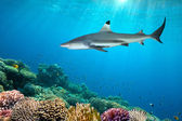 Colorful underwater coral reef and shark — Stock Photo