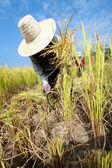 Farmer havesting rice — Stock Photo