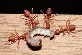 муравей еды червя — Стоковое фото