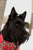 Scottish terrier dog — Stock Photo