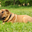 Stock Photo: Shar pei dog