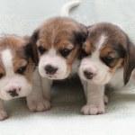 Постер, плакат: Dog beagle