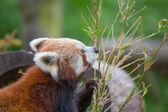 Little Panda Bear — Stock Photo